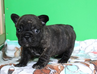 子犬 ます フレンチブルドッグ 無料 譲り 子犬販売
